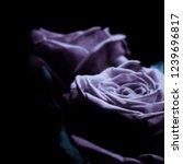 rose flower on a black...   Shutterstock . vector #1239696817