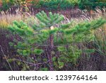 felled spruce  pine. poaching... | Shutterstock . vector #1239764164