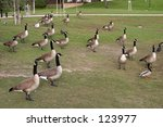 Canadian Geese Flock Together