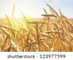 grain in a farm field at sunset ... | Shutterstock . vector #123977599