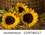 sunflowers in front of a... | Shutterstock . vector #1239786217