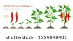 chilli pepper plant growth... | Shutterstock .eps vector #1239848401