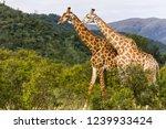 saw these giraffe walking while ... | Shutterstock . vector #1239933424