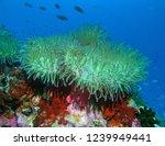 sea anemone and sea anemone fish | Shutterstock . vector #1239949441