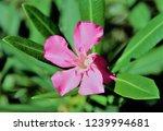pink oleander flower | Shutterstock . vector #1239994681