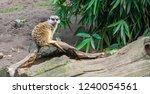 A Cute Meerkat Sitting On A...