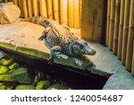 african dwarf crocodile also... | Shutterstock . vector #1240054687