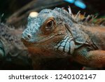 the green  iguana  is a large... | Shutterstock . vector #1240102147