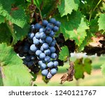 purple grapes ready to harvest... | Shutterstock . vector #1240121767
