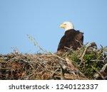 Nesting Bald Eagle   Eaglet
