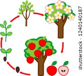 life cycle of apple tree. plant ... | Shutterstock .eps vector #1240140187
