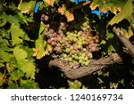 grapes in a vineyard | Shutterstock . vector #1240169734
