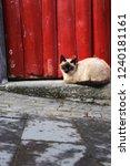 siamese cat lying outside in... | Shutterstock . vector #1240181161
