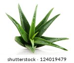 aloe vera plant isolated on... | Shutterstock . vector #124019479