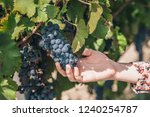 the tradition of growing grapes ... | Shutterstock . vector #1240254787
