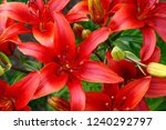 blooming red lily flowers.... | Shutterstock . vector #1240292797