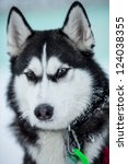 siberian husky dog portrait | Shutterstock . vector #124038355