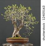 lilac bonsai isn spring | Shutterstock . vector #12405163