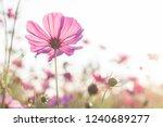 beautiful purple cosmos flower...   Shutterstock . vector #1240689277