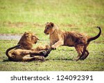 Small Lion Cubs Playing On...