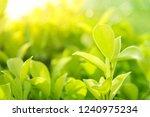 closeup nature view of green...   Shutterstock . vector #1240975234