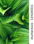 false hellebore leaves | Shutterstock . vector #124100311