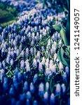 beautiful blue starch grape...   Shutterstock . vector #1241149057