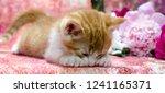 ginger striped kitten lies... | Shutterstock . vector #1241165371