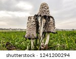 edible mushroom  growing on the ... | Shutterstock . vector #1241200294