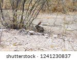 Stock photo a desert or cape hare shelters in etosha national park namibia 1241230837