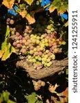 grapes in a vineyard | Shutterstock . vector #1241255911
