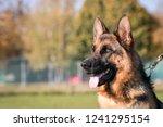 German Shepherd Dog  Posing...