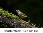 Small photo of close view of Grey-cheeked Fulvetta in natural habitat,Alcippe morrisonia