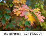 colorful autumn leaves | Shutterstock . vector #1241432704