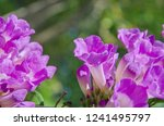 beautiful garlic vine flowers... | Shutterstock . vector #1241495797