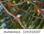 bird  collared kingfisher ... | Shutterstock . vector #1241510107