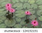 Red Lotus In Thailand.