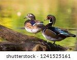 Wood Duck Or Carolina Duck ...
