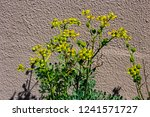 yellow flower seeds of ruta... | Shutterstock . vector #1241571727