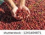 fresh arabica red coffee beans...   Shutterstock . vector #1241604871