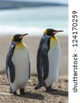 Two King Penguins Walk Over Th...
