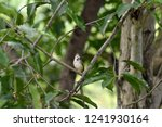 a songbird with brown crown  ... | Shutterstock . vector #1241930164