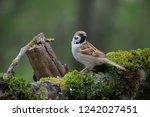 eurasian tree sparrow  passer...   Shutterstock . vector #1242027451