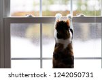 one calico domestic cat leaning ... | Shutterstock . vector #1242050731
