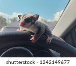 sugar glider   let s go   | Shutterstock . vector #1242149677
