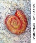 fossil shells in stone | Shutterstock . vector #1242155221