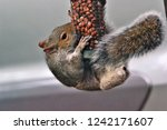 Small photo of Stumpy, the plucky little squirrel lost its right leg in an accident, didn't he/she do well?