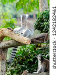 lemur catta in the natural zoo | Shutterstock . vector #1242182461