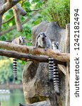 lemur catta in the natural zoo | Shutterstock . vector #1242182494