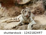 white bengal tiger resting on... | Shutterstock . vector #1242182497